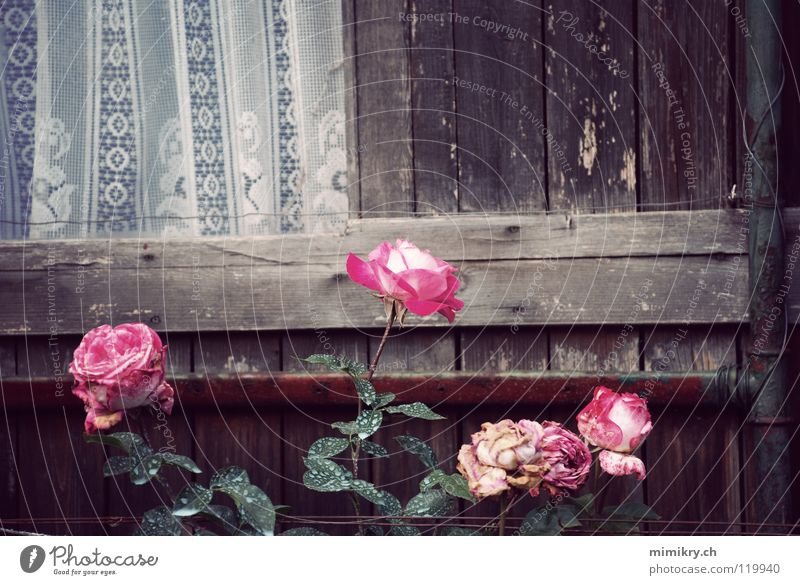 Flower Plant Autumn Window Garden Sadness Park Pink Rose Grief Transience Point Drape Memory Former Faded