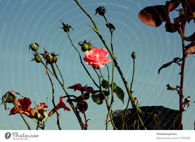 last rose Plant Flower Rose Blossom Old Pink Romance Beautiful Transience Faded Sadness Exterior shot