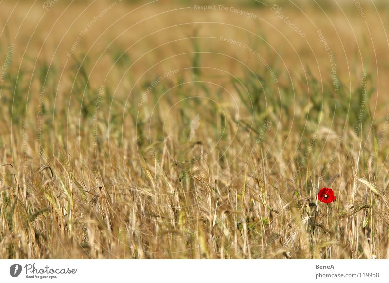 Mooooohn Poppy Corn poppy Opium poppy Flower Blossom Poppy blossom Plant Field Nature Agriculture Growth Maturing time Food Nutrition Biology Ecological Healthy