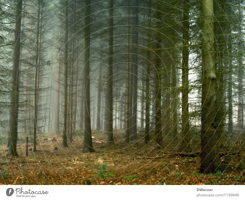 coniferous forest Environment Nature Landscape Elements Autumn Climate Bad weather Fog Plant Tree Forest Threat Dark Infinity Creepy Cold Sadness Grief Death
