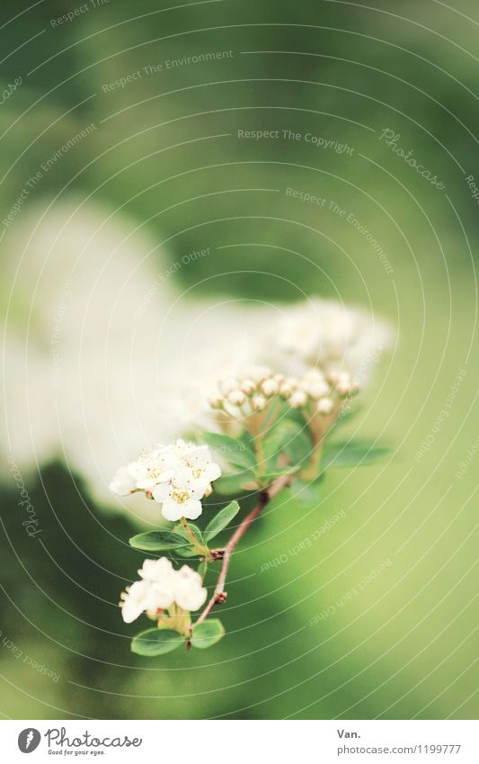 Summer, where are you? Nature Plant Spring Bushes Leaf Blossom Twig Garden Blossoming Soft Green White Colour photo Multicoloured Exterior shot Close-up Detail