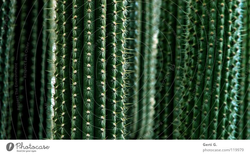Green Plant Line Dangerous Concentrate Botany Vertical Cactus Thorn Thorn Angiosperm