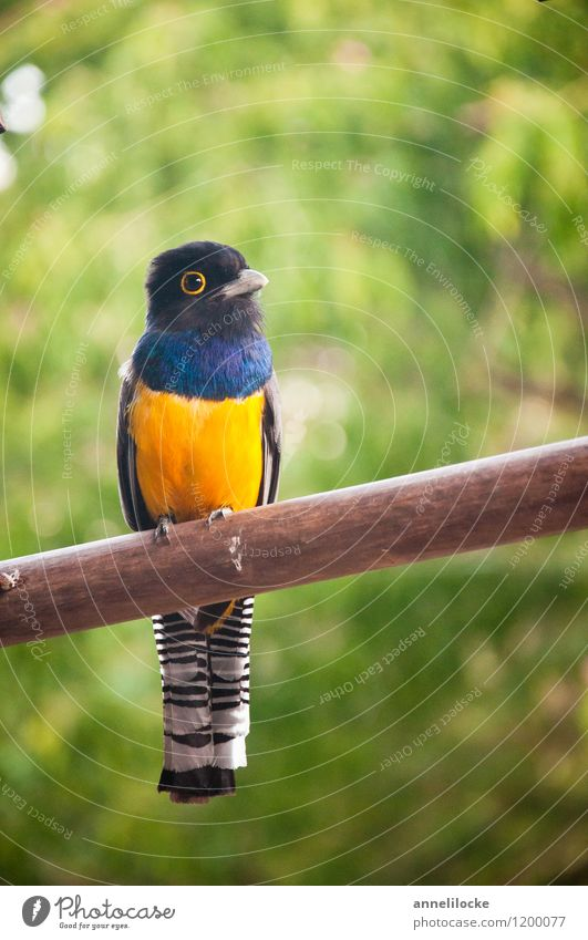 Violaceous Trogon Nature Animal Wild animal Bird little man 1 Blue Yellow Black White Sit Smooth variegated Belize Tropical Striped Colour photo Exterior shot