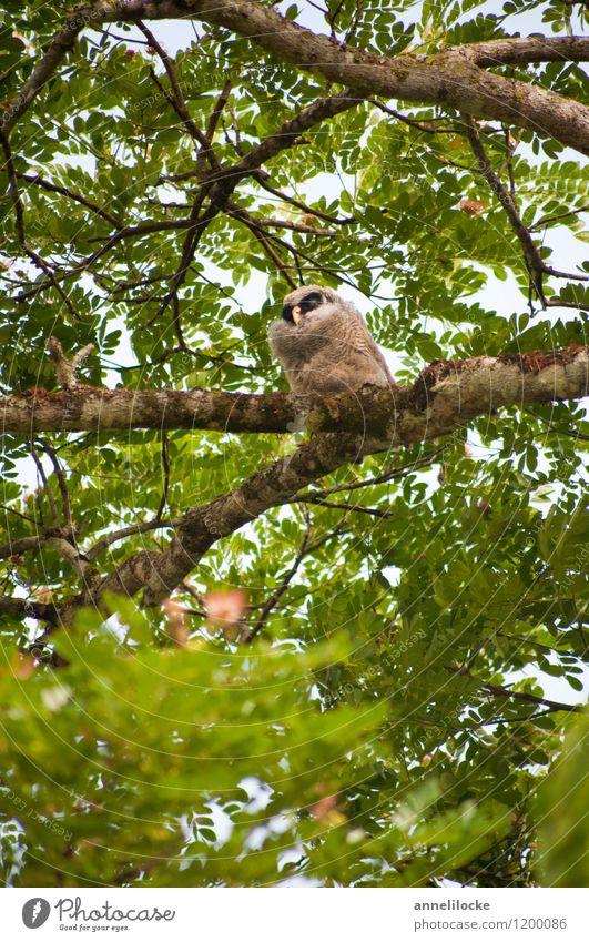 In the rain tree a chick sat Nature Animal Spring Tree Wild plant Branch Leaf canopy Garden Park Forest Virgin forest Wild animal Bird Owl birds Strix