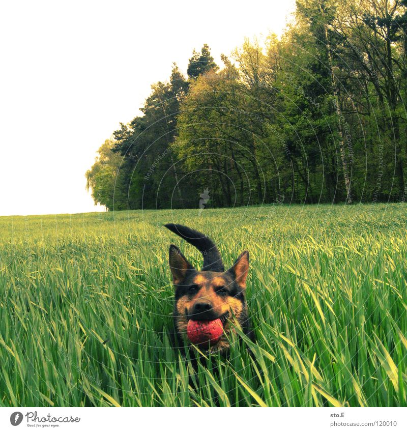 Nature Red Sun Black Animal Eyes Meadow Playing Dog Friendship Brown Arrangement Large Force Speed Sweet