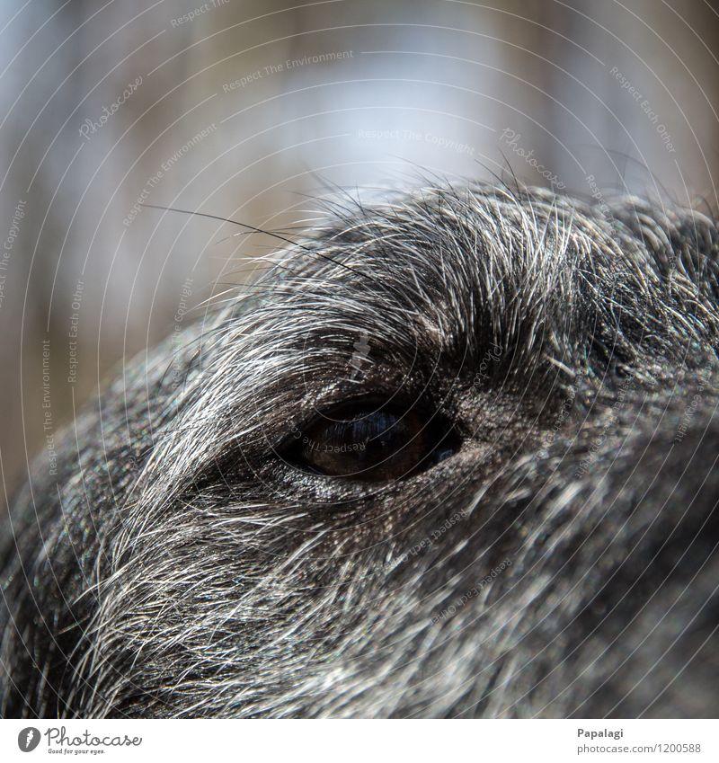 black hole Animal Pet Dog Animal face 1 Trust Puppydog eyes Pupil Pelt Mammal Close-up Eyes Dog eyes Black Gray Eyelash Colour photo Exterior shot Detail