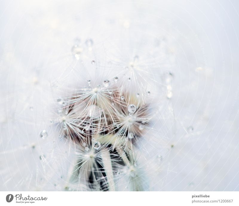 Dandelion with dew drops Elegant Relaxation Calm Garden Agriculture Forestry Nature Plant Drops of water Spring Summer Rain Flower Blossom Wild plant Meadow