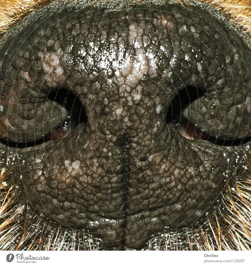 Dog noses smell good Animal Hollow Nostril Piston Black Brown Terrier Breathe Mammal Damp Wet Dry Hot Northern Forest Macro (Extreme close-up) Close-up