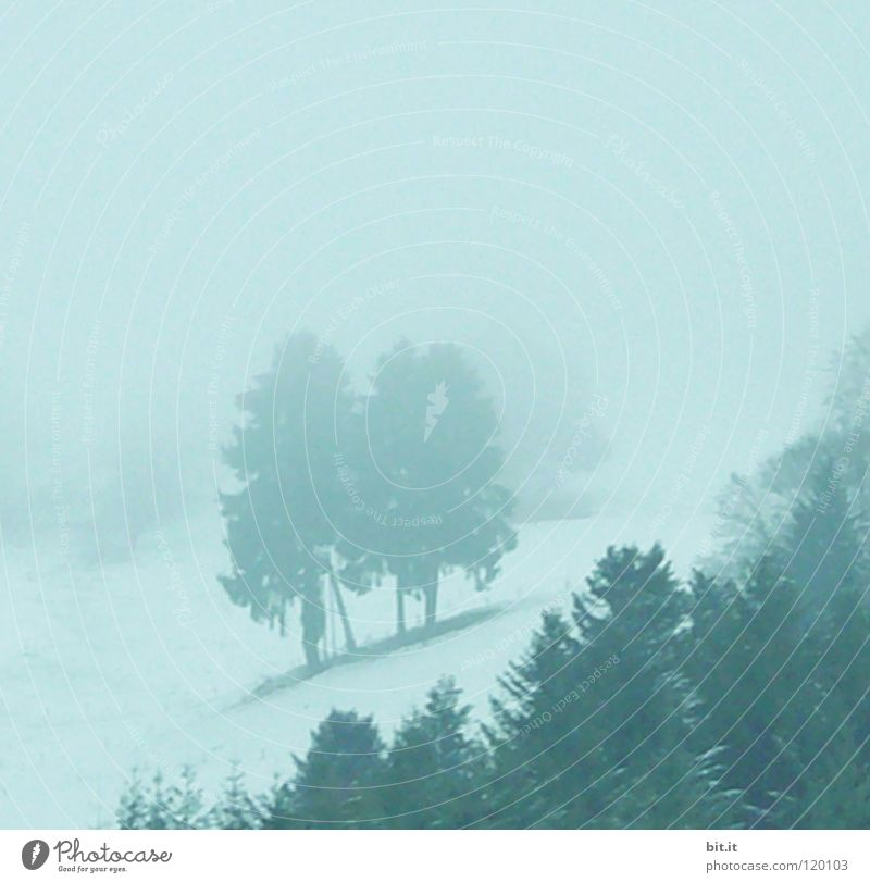 BLACK FOREST BLUES II Fir tree Tree Forest Winter Cold Fog Black Forest Treetop Fir branch Far-off places Slope Steep Alpine White Deep snow Leisure and hobbies