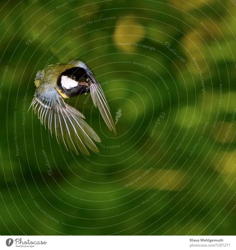 Let's get out of here Animal Wild animal Bird Animal face Wing Tit mouse 1 Flying Blue Yellow Green Black White Feather Colour photo Exterior shot Close-up