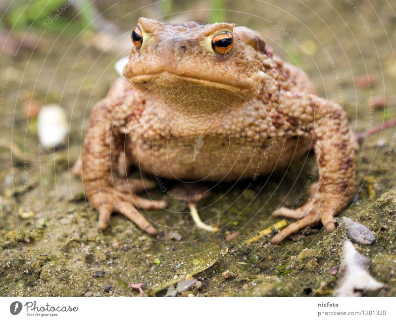 Toad thinking Animal Frog 1 Observe Wet Slimy Brown Green Calm Colour photo Subdued colour Exterior shot Close-up Day Central perspective Animal portrait