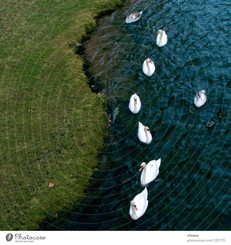 Nature Water Animal Bird Together River Society Row Brook Swan Leader Outsider Psychological terror
