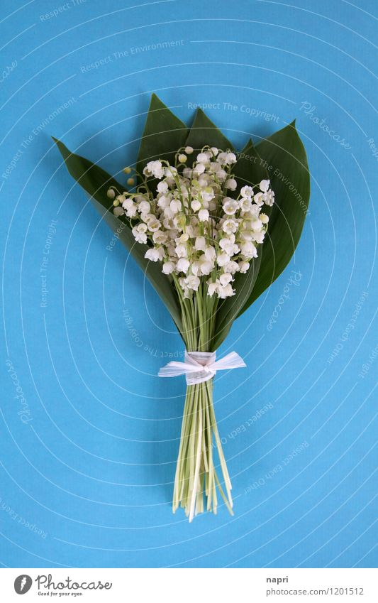 lily of the valley Plant Spring Leaf Blossom Flower Bouquet Lily of the valley Fragrance Simple Elegant Beautiful Blue Green White Spring fever Pure Innocent