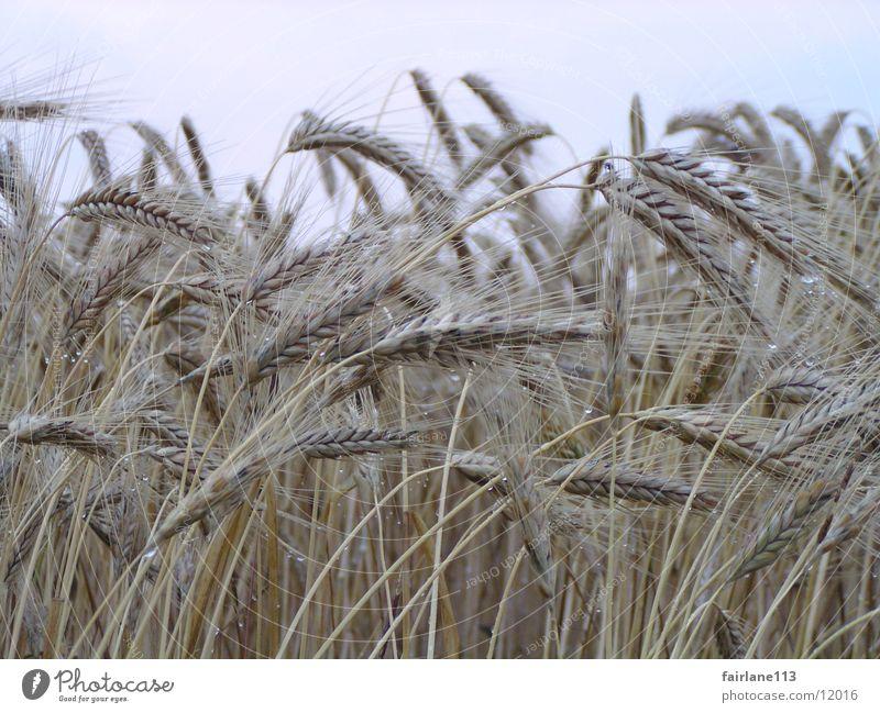 cornfield Grain Summer Clouds Blade of grass Morning Close-up