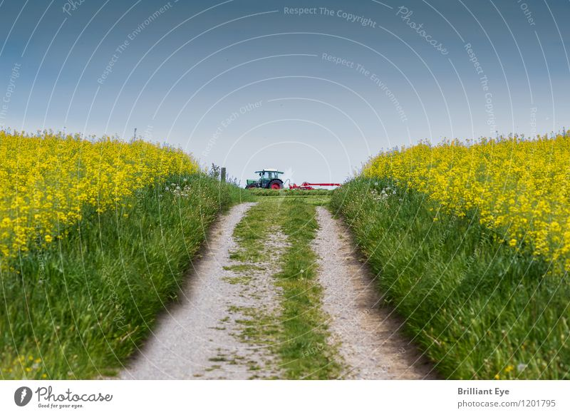 Footpath near rape fields Cooking oil Agriculture Forestry Machinery Energy industry Environment Nature Landscape Spring Beautiful weather Plant