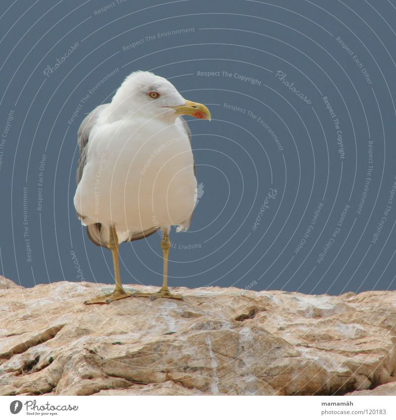 Sitting Seagull Ocean Lake Beak Feather Loneliness Bird Wing Stone Rock Feet Mountain Eyes