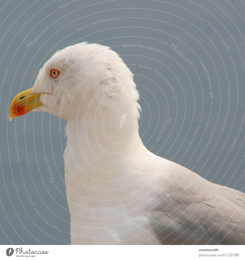Sky Ocean Eyes Lake Bird Wait Flying Sit Feather Wing Observe Concentrate Seagull Beak Animal