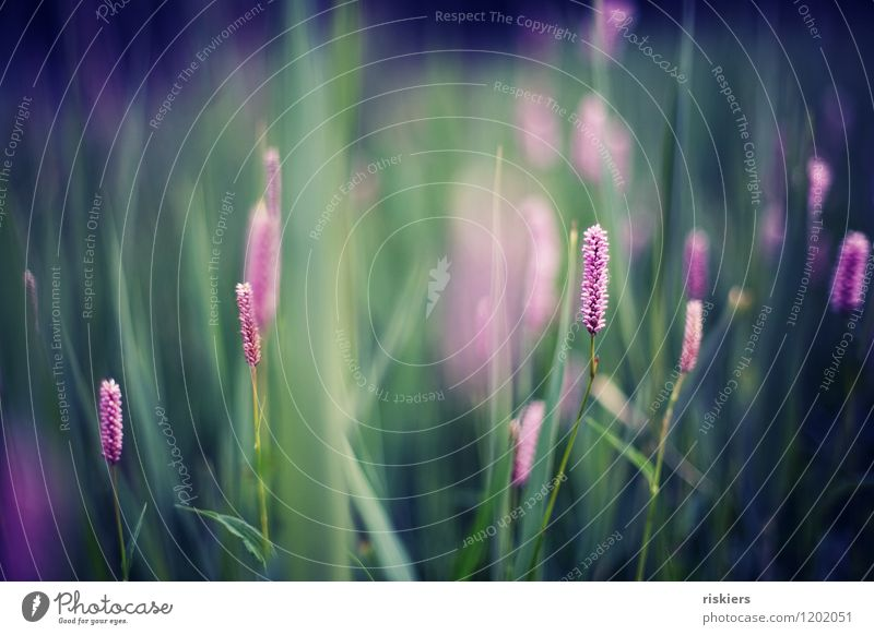 Nature Blue Plant Beautiful Green Colour Summer Environment Spring Blossom Natural Meadow Grass Pink Dream Illuminate