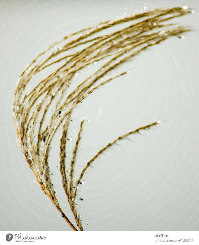 Nature Water Plant Yellow Relaxation Grass Gold Drops of water Rope Gloomy Common Reed Bend Arch Wave Ear of corn Curved