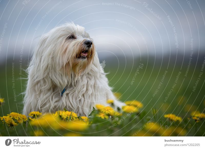 Dog Nature Plant Green White Flower Animal Yellow Blossom Small Pelt Pet Long-haired Dandelion Watchdog Purebred dog