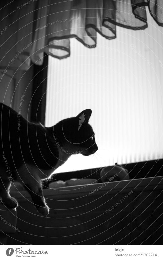 Cat Life II Living or residing Room Bathroom Deserted Window Curtain Discover Crouch Looking Jump Dark Curiosity Interest Black & white photo Interior shot