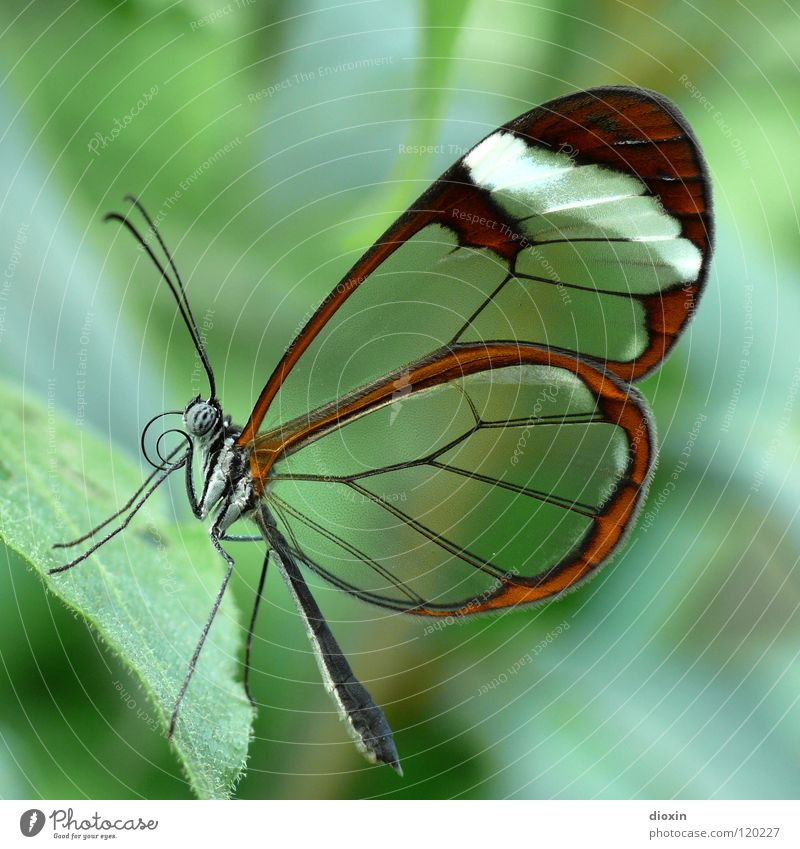 Nature Beautiful Green Animal Life Macro (Extreme close-up) Flying Wing Insect Delicate Butterfly Easy Transparent Smooth Hover Ease