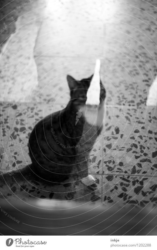 cat's life Living or residing Deserted Terrace Window Glass door Pane Pet Cat 1 Animal Crouch Looking Wait Reflection Black & white photo Interior shot