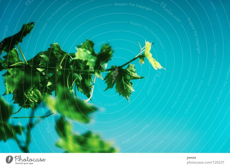 Sky Nature Blue Green Plant Summer Bright Bushes Vine Climbing Turquoise Tendril Colouring Vine leaf
