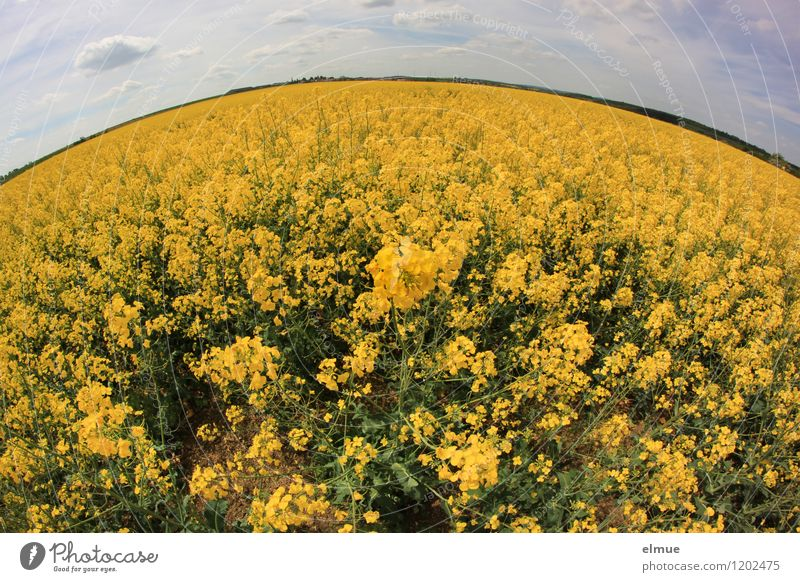 rapeseed body Environment Nature Landscape Plant Earth Sky Clouds Horizon Sun Spring Beautiful weather Blossom Agricultural crop Oleiferous fruit Canola field