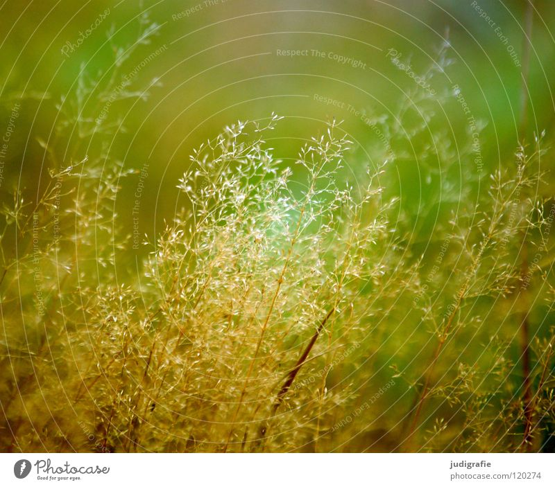 grass Grass Light Green Stalk Blade of grass Ear of corn Glittering Beautiful Soft Hissing Meadow Delicate Flexible Sensitive Pennate Plant Colour Summer Pollen