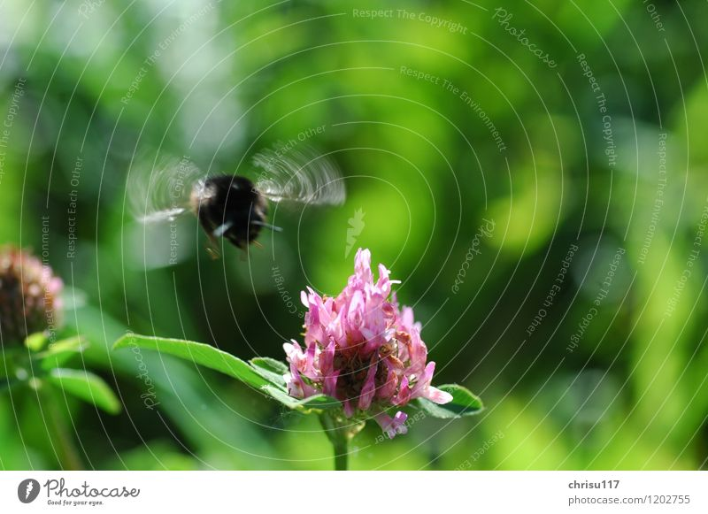Summ, Summ Nature Landscape Sun Meadow Flower meadow Animal Wild animal 1 Discover Flying Freedom Environmental protection Bumble bee Clover Colour photo