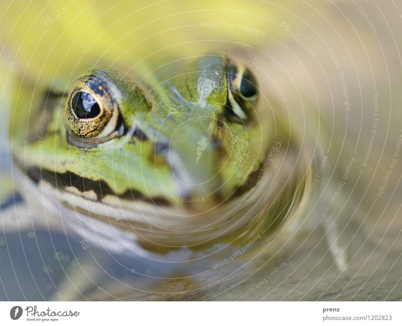 frog Environment Nature Animal Spring Summer Pond Wild animal Frog Animal face 1 Green Swimming & Bathing Water Eyes Clouds Colour photo Exterior shot Close-up