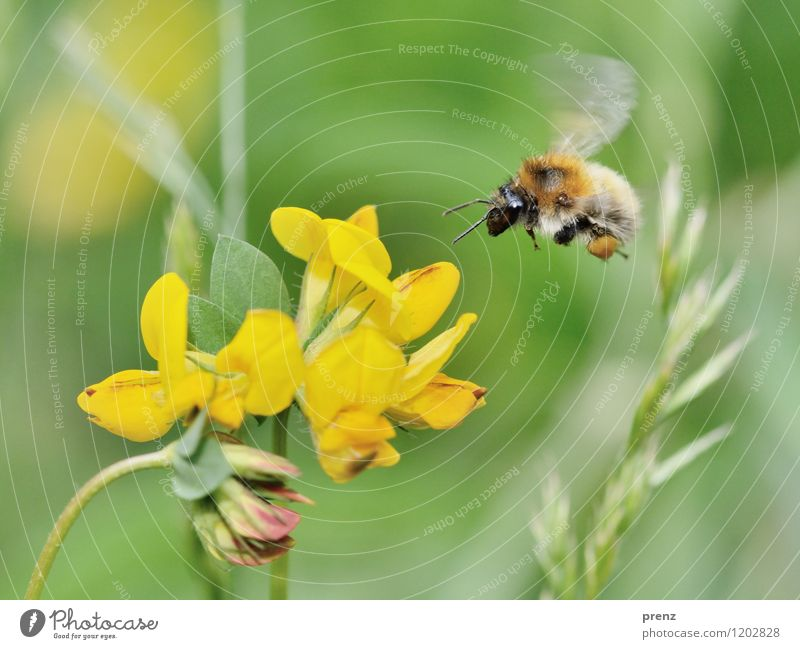 fly more beautifully Environment Nature Plant Animal Spring Summer Beautiful weather Flower Blossom Garden Park Wild animal Bee 1 Yellow Green Flying Floating