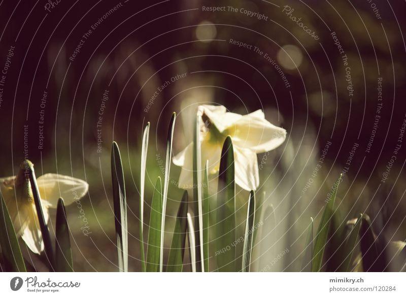 spring Wild daffodil Flower Green Sunlight Spring Spring flower Yellow Plant