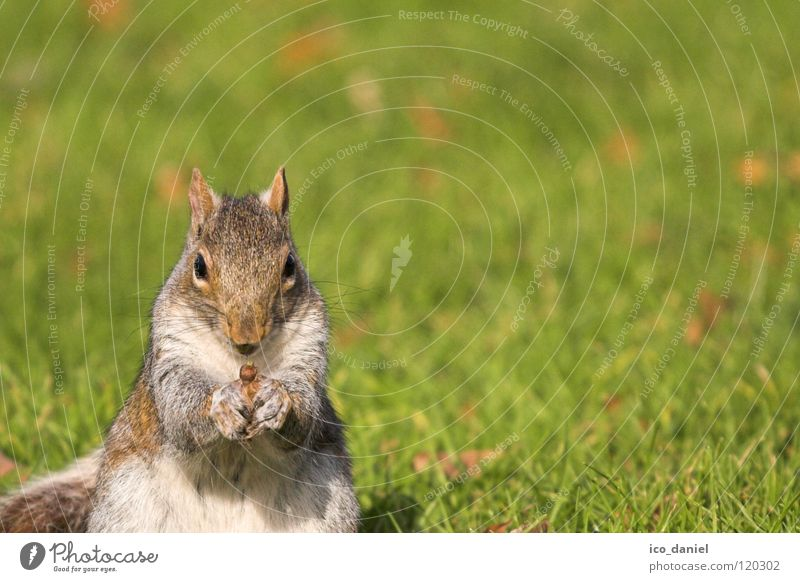 A-croissant Grass Animal Wild animal Squirrel 1 Sit Small Cute Obedient Break Feed Mammal Colour photo Exterior shot Looking into the camera Copy Space right