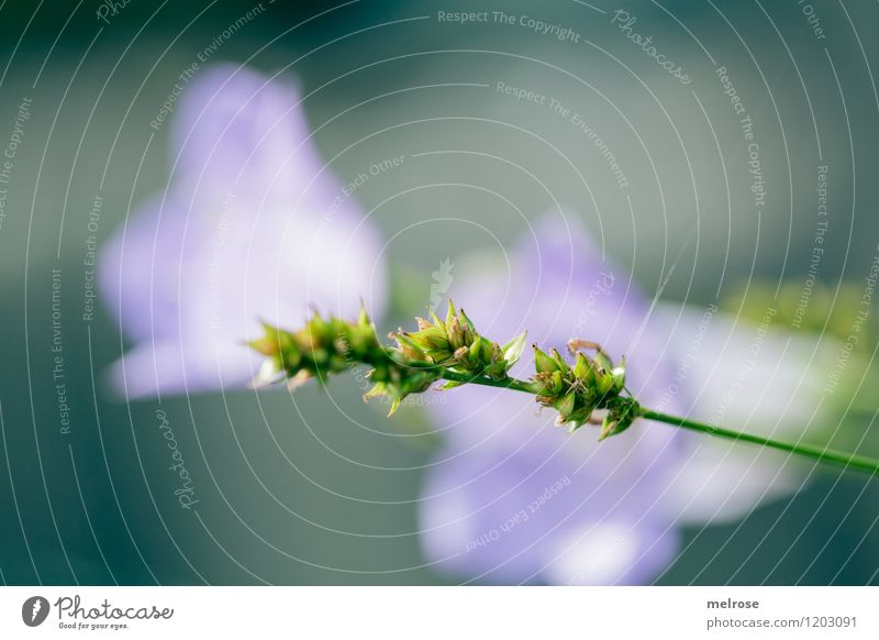 green-violet Elegant Style Design Leisure and hobbies Nature Summer Plant Flower Grass Blossom Bluebell Grass blossom Garden Background picture Blossoming