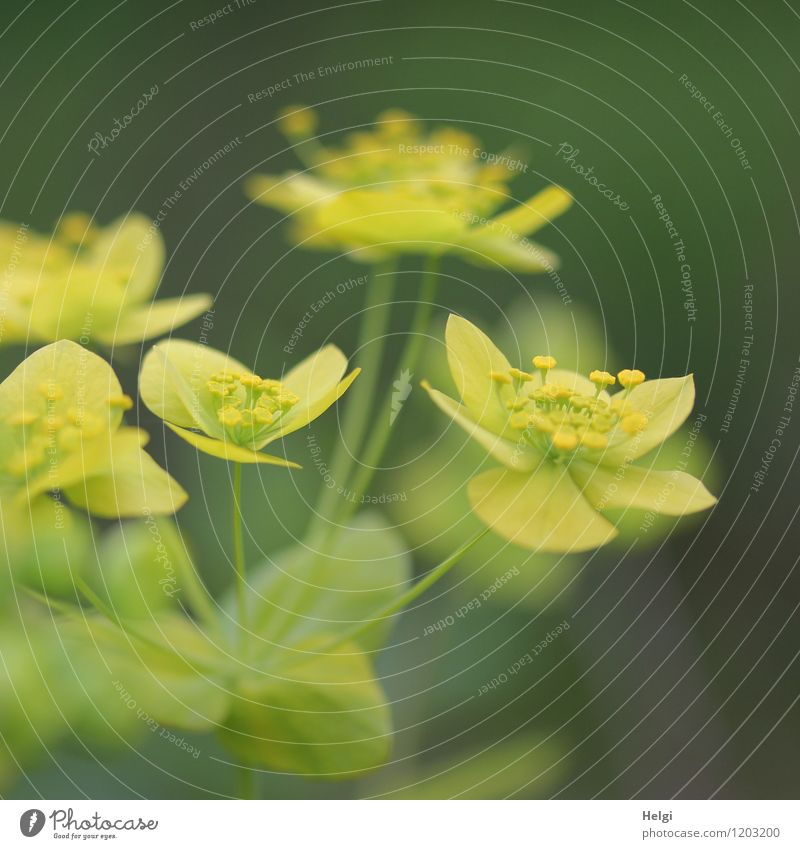 spurge Environment Nature Plant Spring Flower Leaf Blossom Euphorbiaceae Park Blossoming Growth Esthetic Beautiful Natural Yellow Gray Green Colour photo