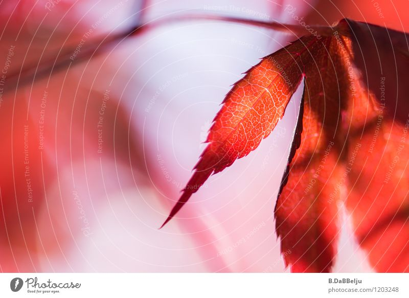 lifelines Garden Nature Plant Tree Leaf Esthetic Warmth Red Authentic Contentment Maple tree Maple leaf Natural Pink Life Rachis Calm Beautiful Blur Forest