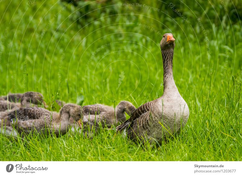 Graugans Family Environment Nature Landscape Plant Animal Spring Summer Grass Meadow Field Forest Lake Brook River Wild animal Bird Gray lag goose 4