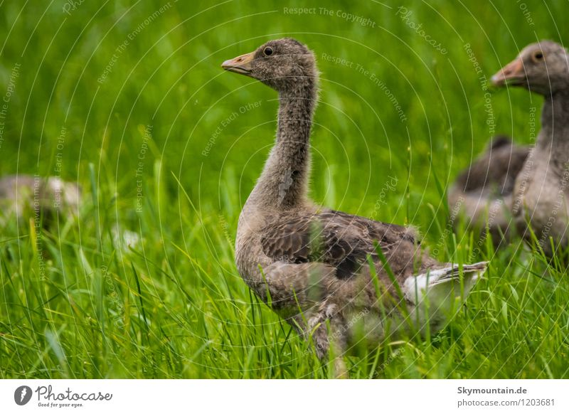 Young Greylag Geese Environment Nature Landscape Plant Animal Beautiful weather Grass Meadow Field Lake Brook River Wild animal Bird Gray lag goose 1 2 3
