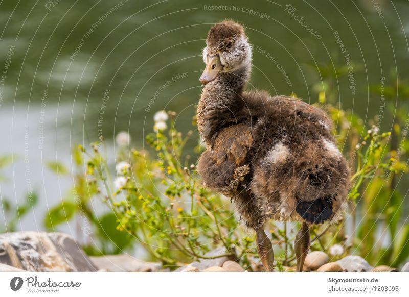 Nile Goose Jungvogel Environment Nature Landscape Plant Animal Spring Summer Field Lakeside River bank Wild animal Bird Animal face Wing 1 Baby animal Brash