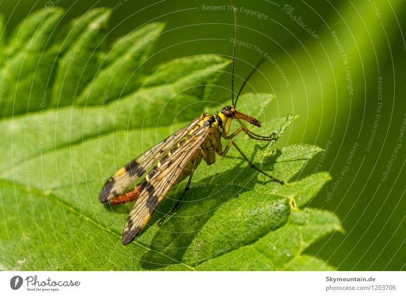 Scorpion fly (Panorpa vulgaris) Environment Nature Plant Animal Leaf Garden Park Meadow Field Forest Wild animal Wing Insect 1 Observe Discover Relaxation