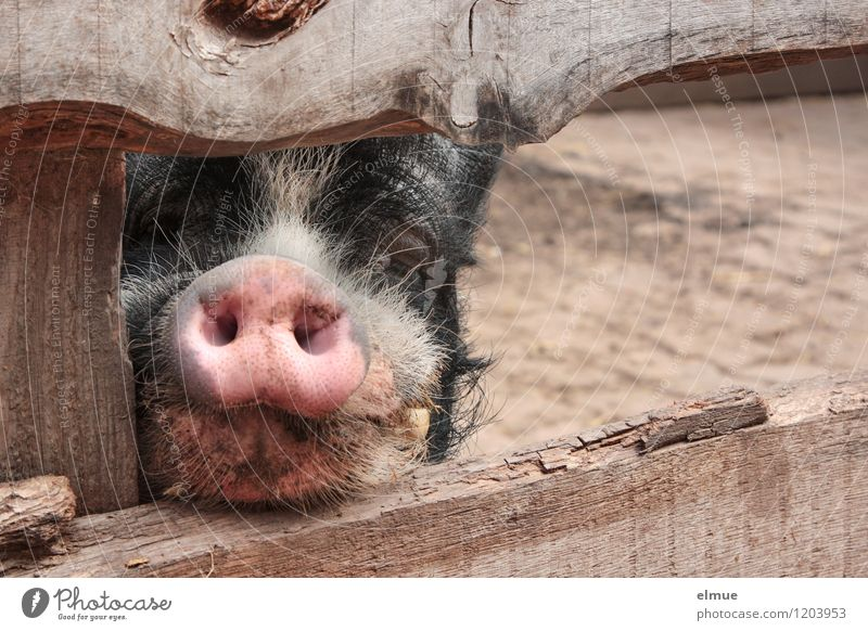 Do you have anything to eat? Farm animal Swine Boar Socket Good luck charm Observe Communicate Wait Dirty Natural Curiosity Smart Pink Black Trust Sympathy