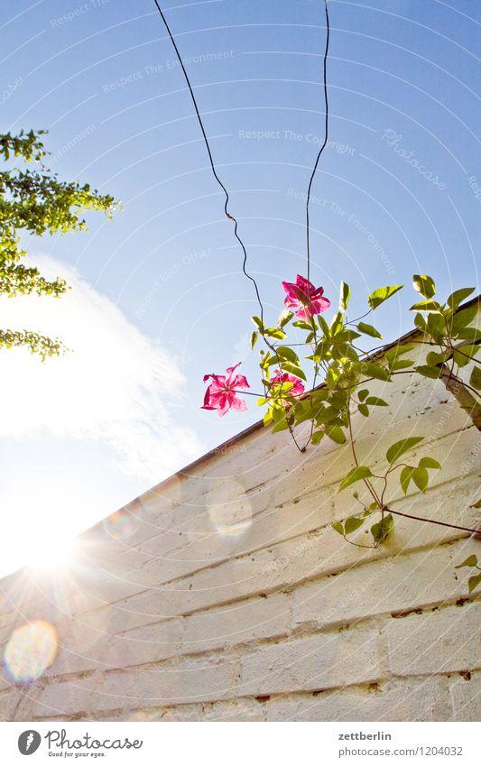 clematis Flower Blossom Garden Garden plot Nature Plant Clematis Tendril Creeper Wall (barrier) Sky Sun Back-light Light Flashy Bright