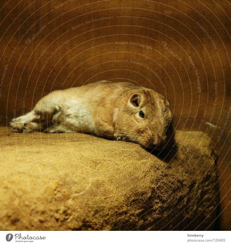 Calm Animal Stone Sleep Desert Pelt Zoo Boredom Mouse Mammal Pet Comfortable Rodent