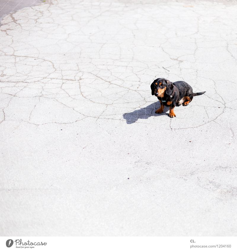 Dog Animal Small Sit Cute Beautiful weather Ground Curiosity Pet Animal face Love of animals Dachshund