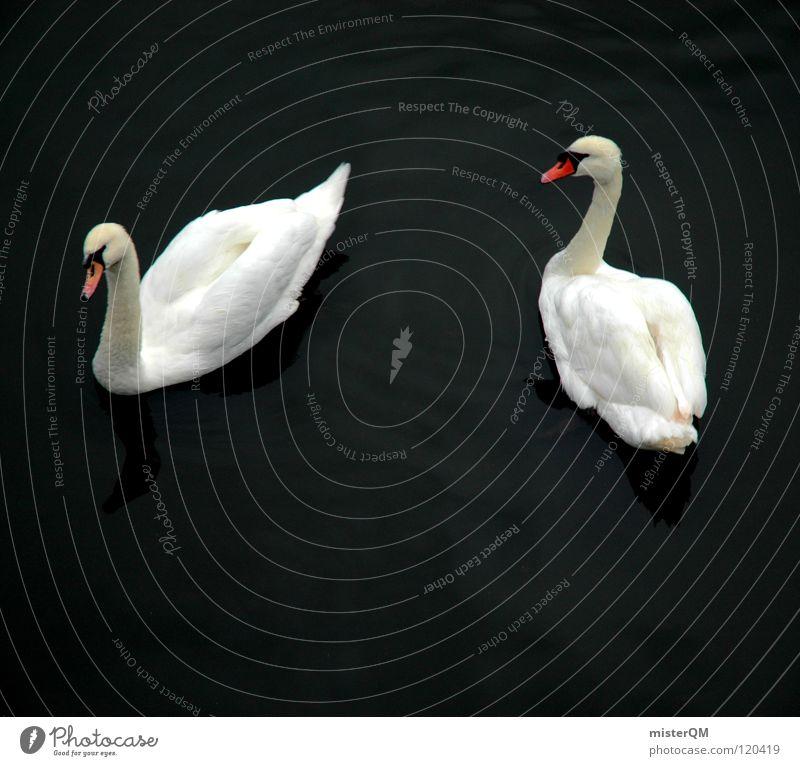 love story Swan White Dark Lake Love Beak Water Calm Pond Romance What Cripple Flirt Loyalty Symbols and metaphors Yin and Yang Bird Red Feather Relationship