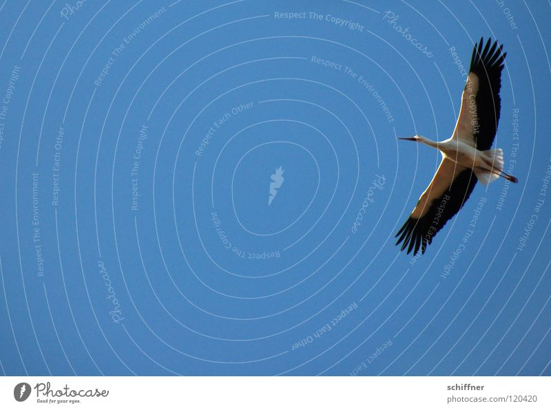Sky Blue Bird Flying Aviation Environmental protection Stork Glide Span Aerobatics Migratory bird Alsace White Stork