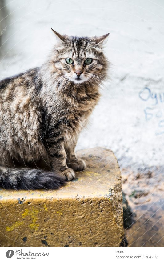 Cat portrait. Animal Pet 1 Stone Looking Sit Old Brown Yellow Gray Green Black Colour photo Subdued colour Exterior shot Deserted Morning Dawn Day