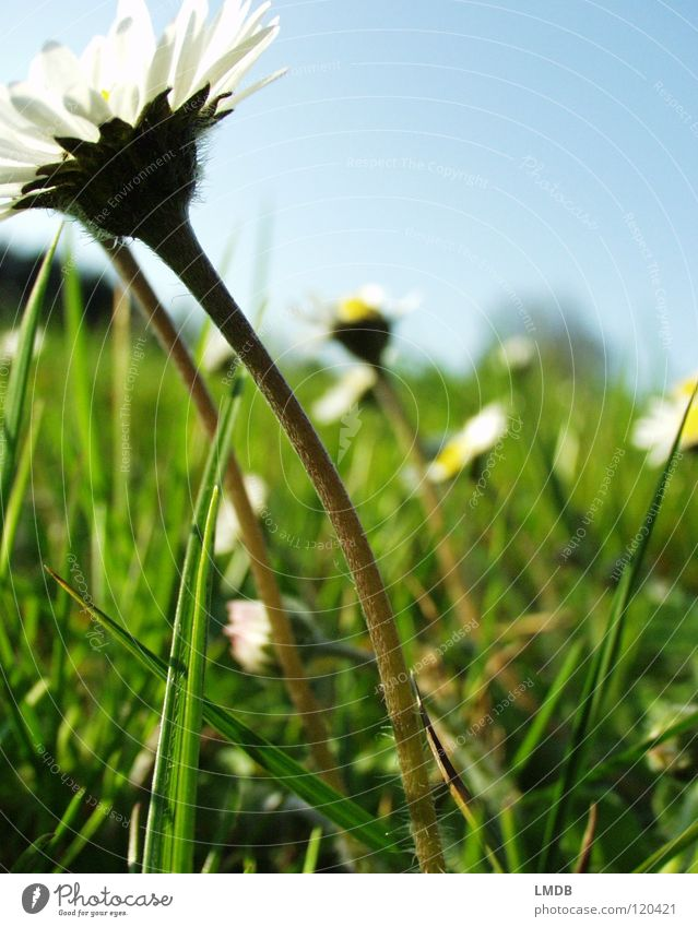 Towards the sun! Daisy White Yellow Spring Marguerite Daisy Family Flower Plant Blossom Grass Meadow Field Exterior shot Wake up Physics Happiness Blossoming